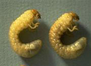 Grub worms are lawn killers