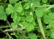 Texas weeds-Clover